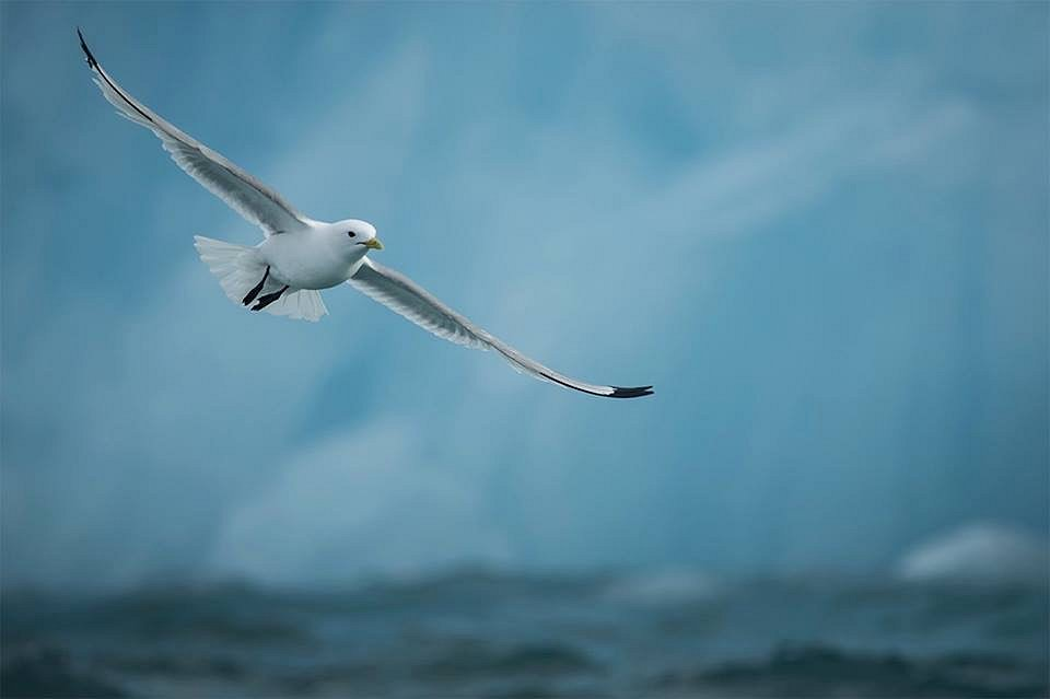 Kittiwake over the arctic ocean