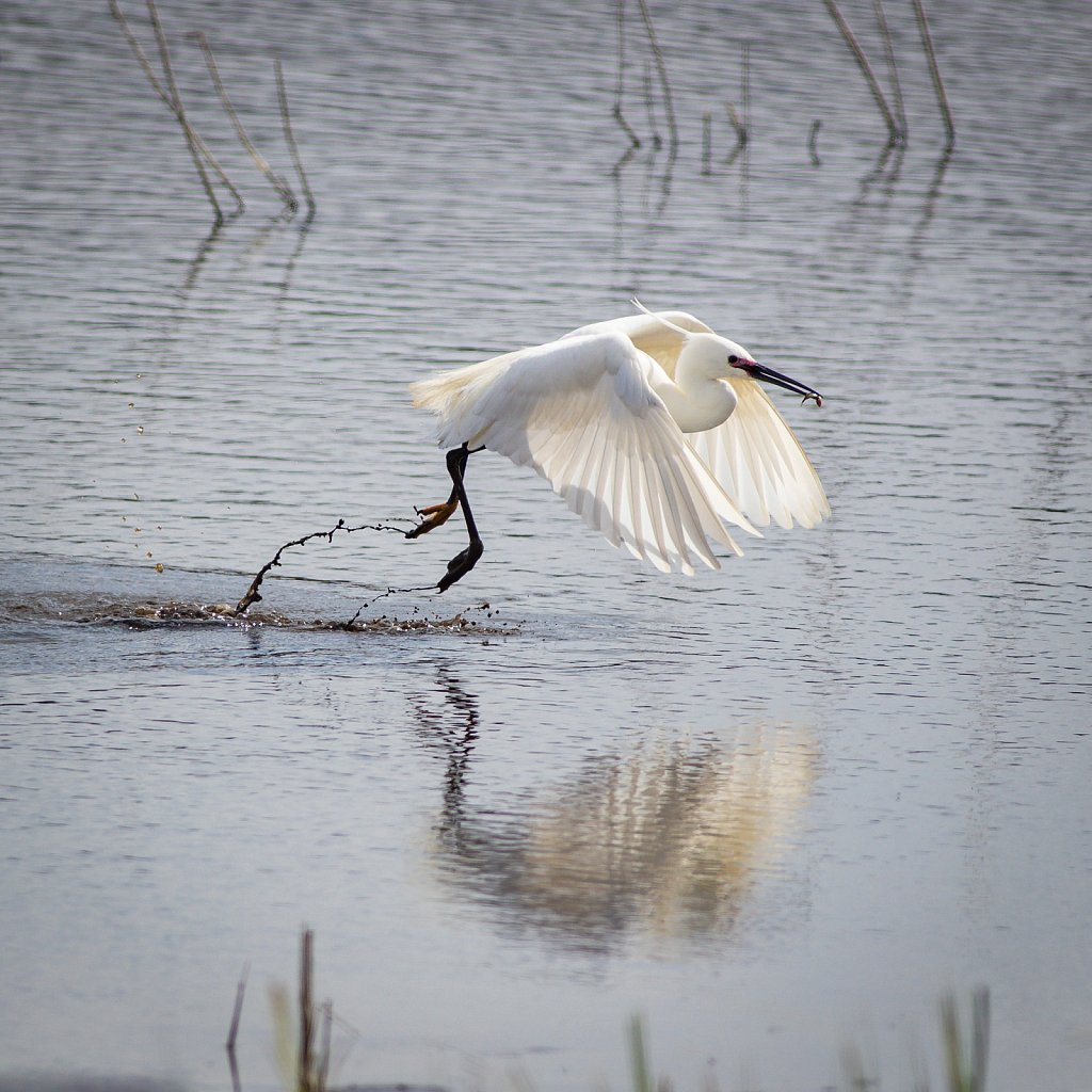 Little egret with a picnic lunch