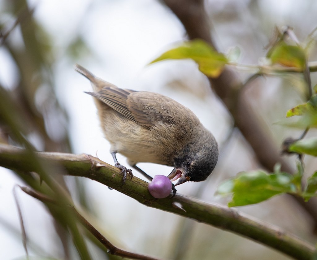 Galapagos tree finch, Santa Cruz, Ecuador