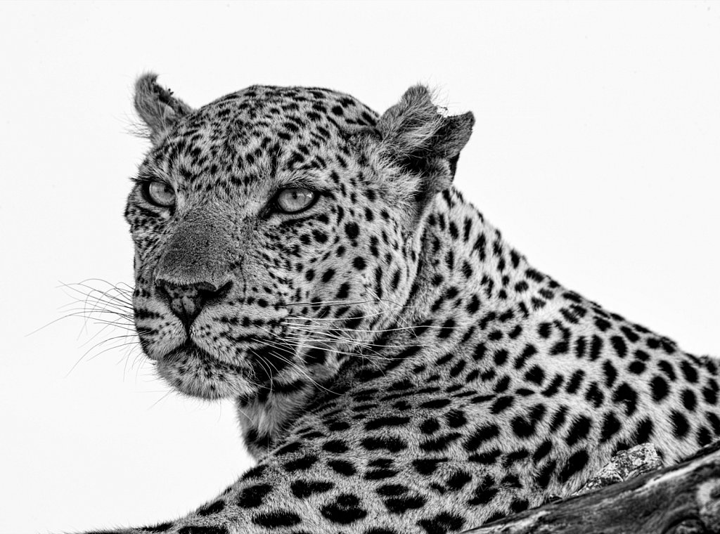 Battle-scarred leopard