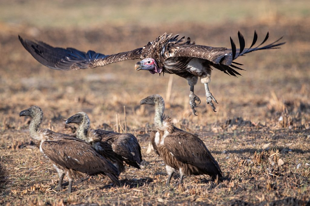 A lappet-faced vulture flies in