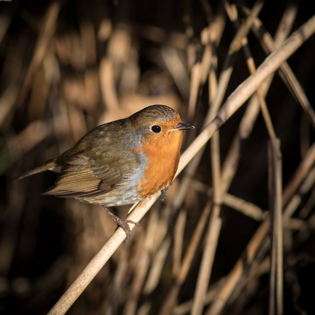 And another robin...