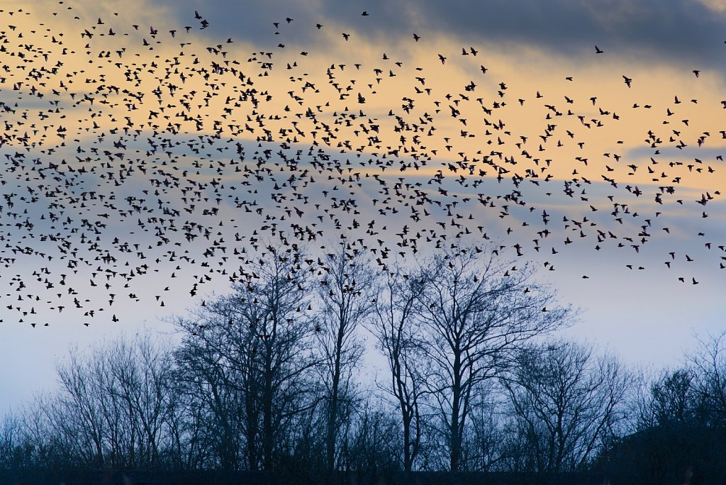 Starlings over Leighton Moss