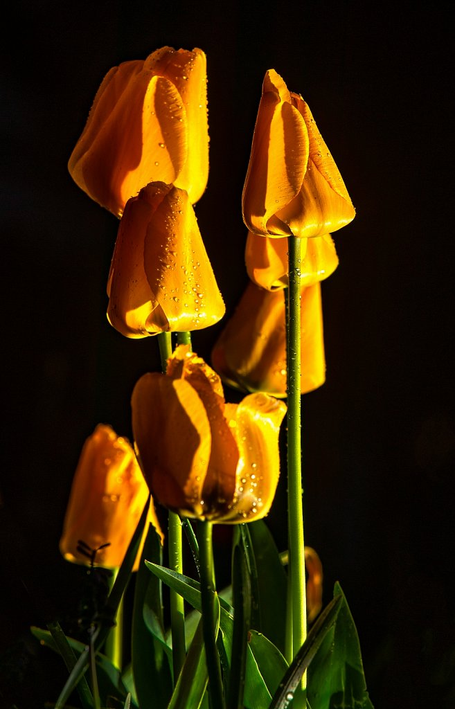 Night tulips