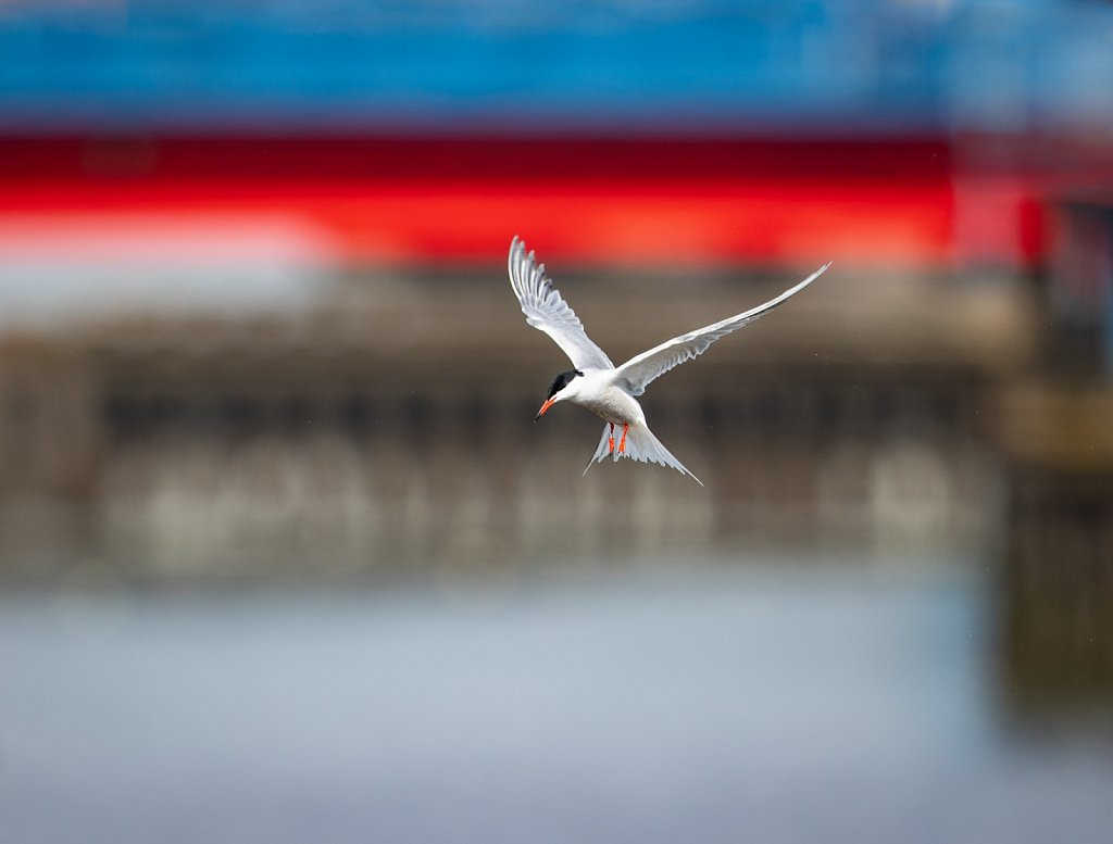 Tern at Preston docks