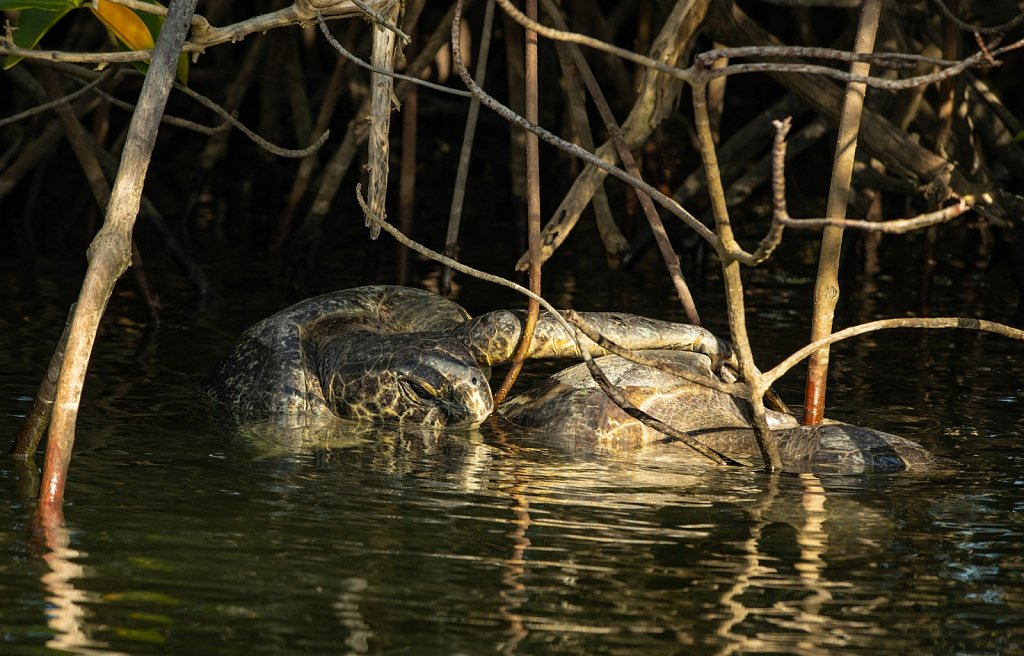 Galapagos male turtle holding on a female in the mangroves