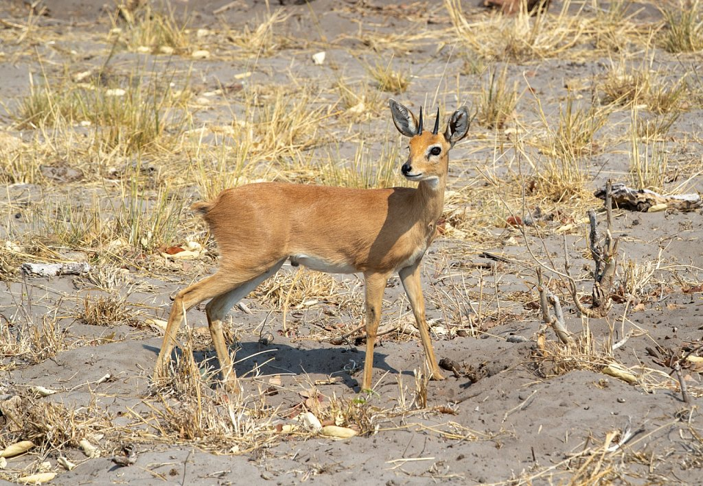 The solitary Steenbok