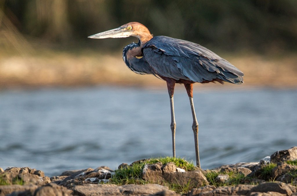 Goliath heron on the Zambeze river