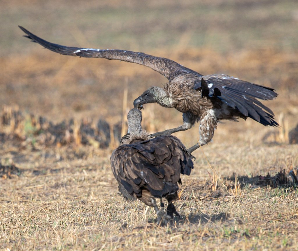 Two white backed vutlures squabbling over a scrap of carcass