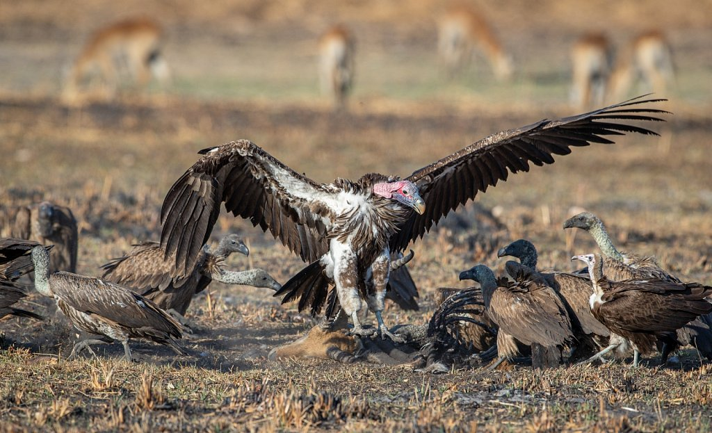A lappet-faced vulture in charge of the remains of a red lechwe